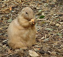 Roly-Poly Prairie Dog by SierraMLatkje