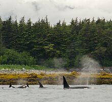 Free Willy's Family in Juneau, Alaska by lulu64