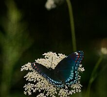 Red Spotted Purple and Queen Anne's Lace by Megan Noble