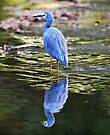 Reflection - White Faced Heron - Walkers Creek. by Alwyn Simple