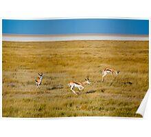 Springbok, Etosh National Park, Namibia Africa Poster