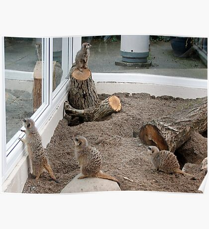 Meerkats ( John George Paul & Ringo) Poster