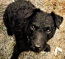 Fergus, Wire-Haired Patterdale Terrier by Jay Taylor