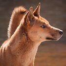 Dingo (Canis lupus dingo) by Rosie Appleton