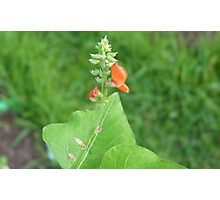Scarlet Runner Bean 01 Photographic Print