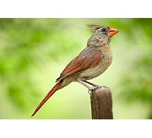 Mrs. Cardinal on her Lookout Post Photographic Print