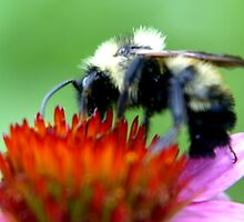 Bumble Bee on Cone by STEVIE KRUEGER