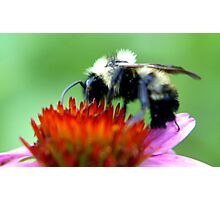 Bumble Bee on Cone Photographic Print