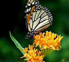They Call it Butterfly Bush for a Reason by STEVIE KRUEGER