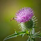 Bull Thistle by Margaret S Sweeny