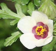 White and burgandy flower by Karen Brewer