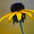 Black Eyed Susan by Shaun  Gabrielli
