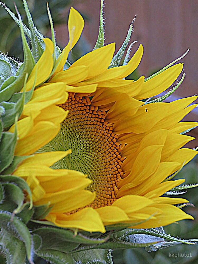 Sunflower Awakening by kkphoto1