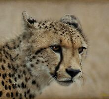 A PORTRAIT - THE CHEETAH - Acinonyx jubatus by Magaret Meintjes