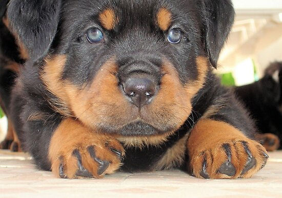 Cute Rottweiler Puppy With Blue Eyes by taiche