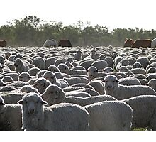 Only Us Sheep Here Photographic Print