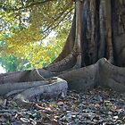 Just Imagine..... Moreton Bay Fig. by SunshineKaren