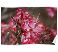 South african flower - Impala Lily Poster