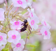 Bee & Phlox by Laurie Minor
