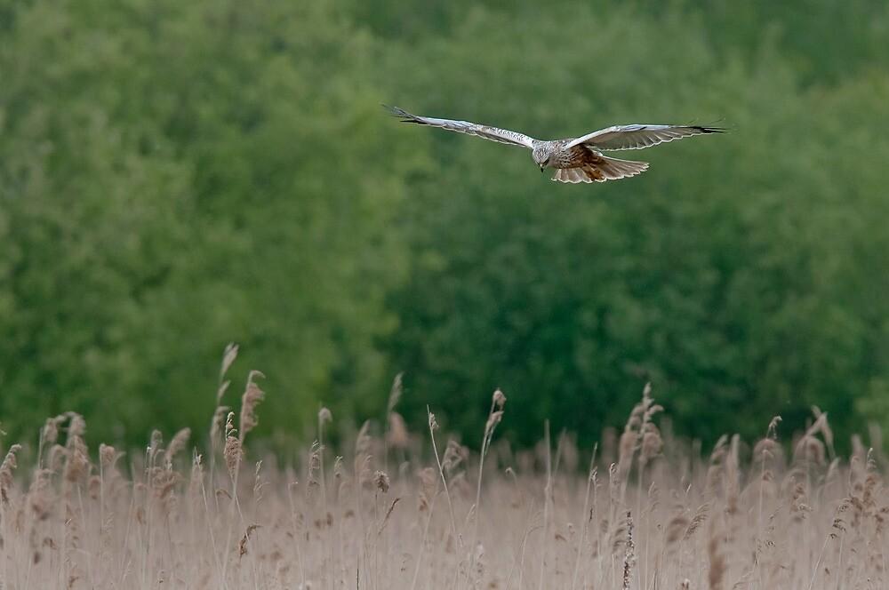 Marsh Harrier--male by FranWalding