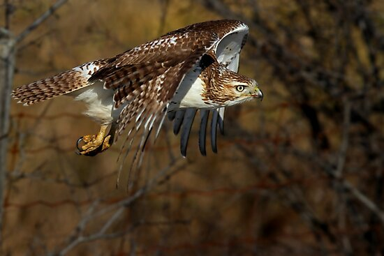 Red-tailed Hawk - Bullet by Jim Cumming