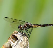 Female Widow Skimmer by RoyceRocks