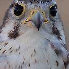 Prairie Falcon (tercel) by Robbie Knight