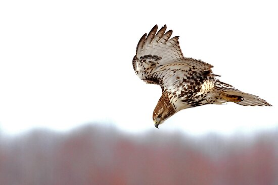 Supper Spotted - Red-tailed Hawk by Jim Cumming