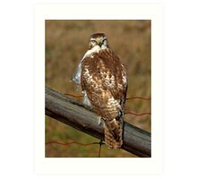 Red-tailed Hawk on fence Art Print