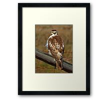 Red-tailed Hawk on fence Framed Print
