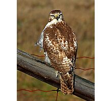 Red-tailed Hawk on fence Photographic Print