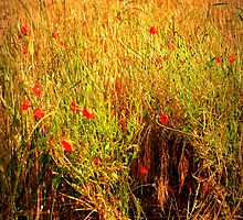 poppies of the shires 9 by kimbob1