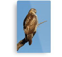 Red-tailed Hawk - juvenile Metal Print