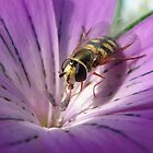 Corncockle Hoverfly by AH64D