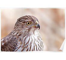 Cooper's hawk profile Poster