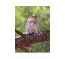 Mealtime - Coopers hawk Art Print
