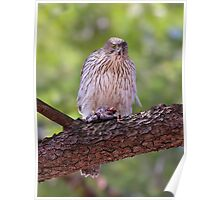 Mealtime - Coopers hawk Poster