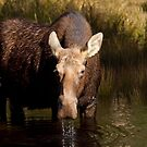 Moose - Algonquin Park, Canada by Jim Cumming