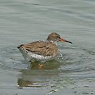 Redshank by MikeSquires