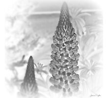 Black Lupin Photographic Print