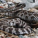 COILED! by Ron Hannah