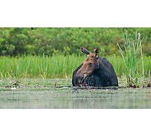 Algonquin Moose Photographic Print