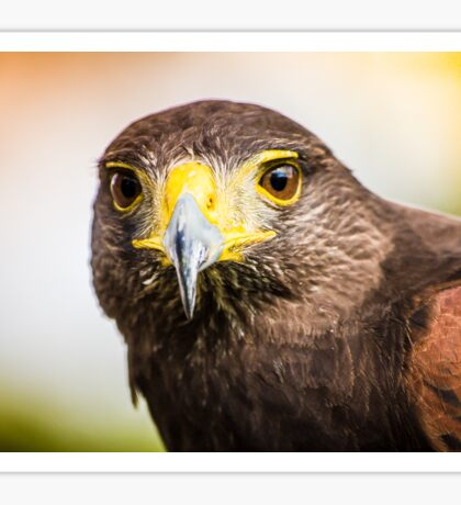 Harris Hawk Sticker