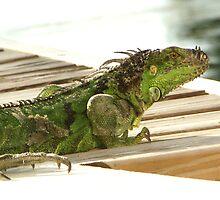 Iguana Claws by Bob Hardy