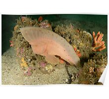 Red Indianfish - Pataecus fronto Poster