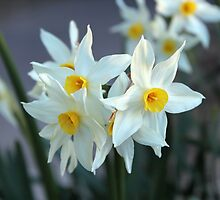 Jonquil in August by Steven Cousley