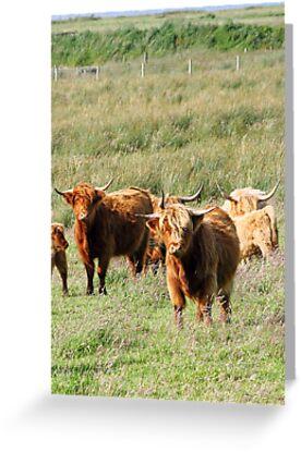 Highland Cow (Heeland Coo), Scotland by MelissaSue