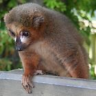 Baby Red-Bellie Lemur by Dawnsky2