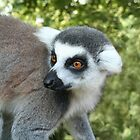 Ring tailed Lemur by Laura Redmond