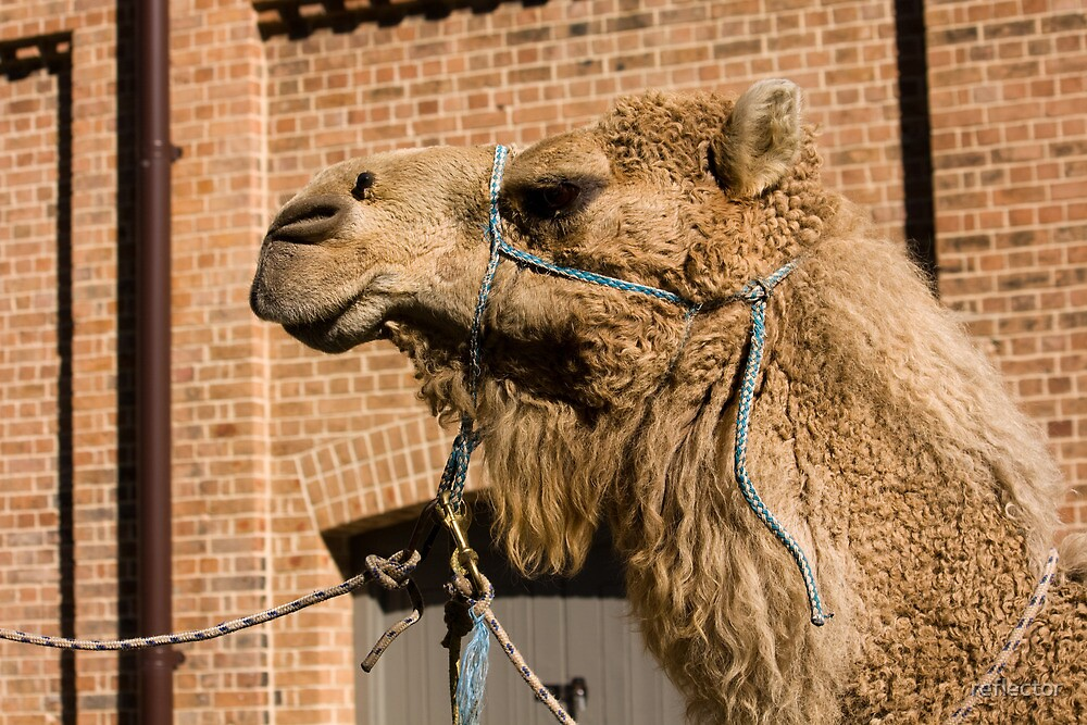 Camel In Suburbia by reflector